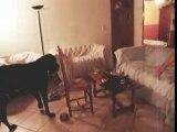 Balthus, un amour de dogue allemand