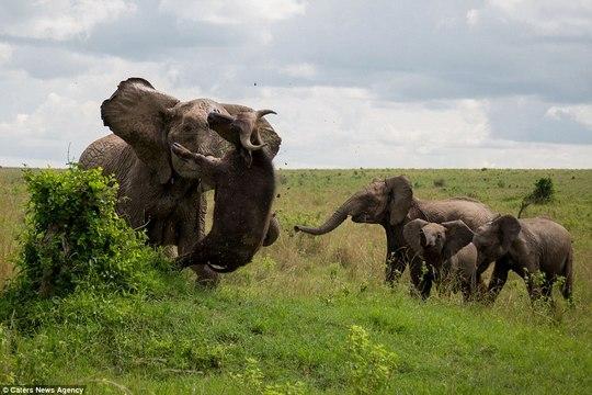 Elephant throws 500kg buffalo into the air like a rag doll