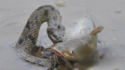 Snake Catching Giant Catfish
