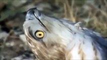 Eagles vs war Wildlife attack sides Eagle Cobra attack a king cobra family louco