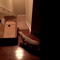 Un chat, une boîte et un laser