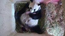 Naissance à Vienne de 2 pandas jumeaux conçus naturellement