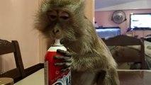 Un singe raffole de chantilly