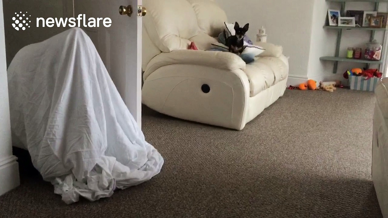 Dog is baffled by bed sheet ghost