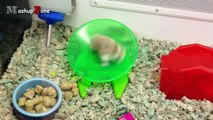 Hamsters - A Cute Hamster And Funny Hamster Videos Compilation _ NEW HD-DvBF6cLdnNo