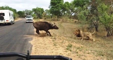 Lion catches Buffalo - What happens next