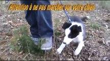 vidéo comment apprendre  la marche au pied du chiot et chien