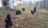 Des ours bruns dévorent des pommes dans un refuge... trop mignon !