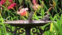 Oiseaux de nos jardins-1ère partie