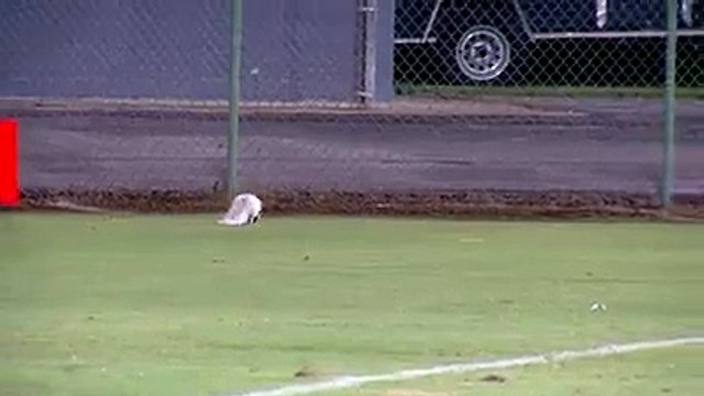 skunk causes football game to be delayed