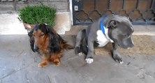 Un Pitbull coupable d'une bêtise se cache derrière un autre chien