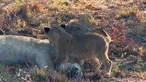 Un lionceau vient reveiller maman... Trop mignon