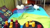 Mushu - Mystic et Marcus - Rats alibnos mâles à l'adoption sous BDS