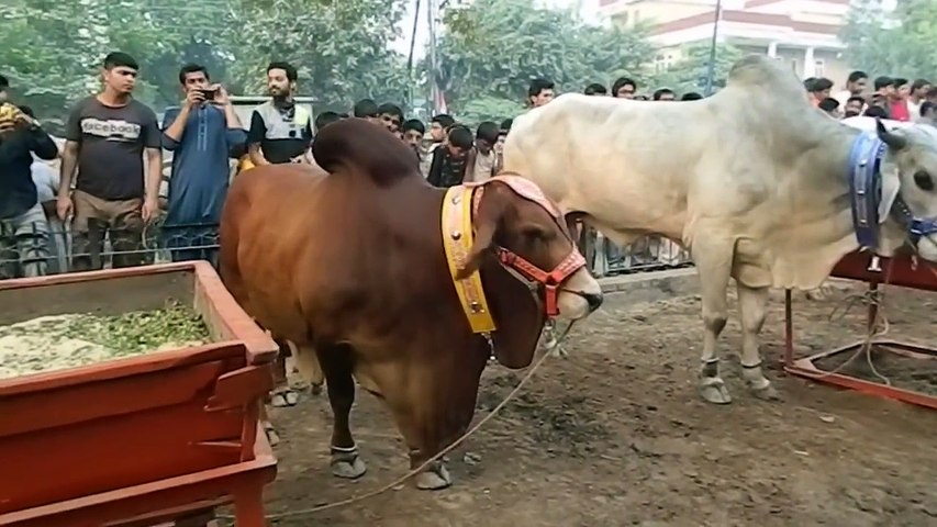 ----- Biggest Qurbani -- Cow Qurbani -- Camel Qurbani -- Eid ul adha --  Qurbani -- - YouTube