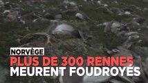 Norvège : plus de 300 rennes meurent foudroyés lors d'un orage
