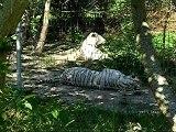 Tigres blanc parc des Félins 77