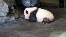 Les premiers pas du bébé panda à Pairi Daiza