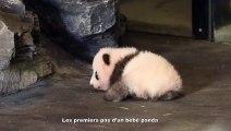 Les premiers pas d'un bébé panda