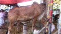 BUYING COWS IN BANGLADESH COW MARKET VLOG