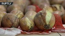 No More Tears Japanese scientists develop onions that wont make you cry