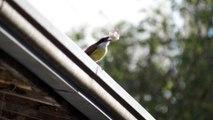 Bird utilizando ferramentas na alimentação, uso da bigorna como base de quebra da semente, Bem te vi, Birdwatching, Taubaté, SP, Brazil