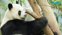 Is The Panda No Longer Endangered?