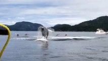 Cette baleine saute hors de l'eau à côté de Canoës Kayak !