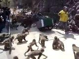 Des centaines de singes deviennent fous dans un zoo après le chariot de bouffe !