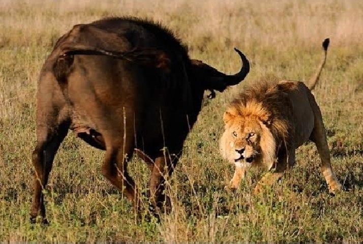 Buffalo Vs Lion - Who will win??