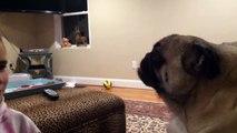 Cute Pug Has Hilariously Long Tongue