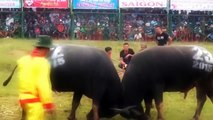 Most Awesome Buffalo Fighting Festival - Funny videos try not to laugh - FUNNY CRAZY Buffalo Fails 3