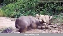 Most Amazing Wild Animals Attacks #24 Big Battle Animals Fight, lion, anaconda, snake #miller