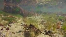 Quelques bonnes pratiques de pêche à pied : l'étrille