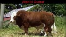 pakistan k muslman sunat-e- ibrahimi ki aadagi mei mashgool (Goat