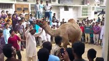 dangerous cow kick 2010 funny video || cow qurbani running