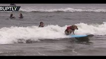 Who said dogs can't ride the waves too World's first International Dog Surfing Championship