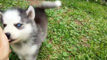 Funny animal videos: Husky Dogs And Puppies Compilation