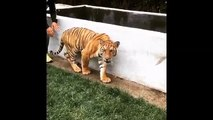 Lewis Hamilton Sneaks Up On A Tiger