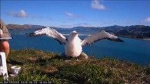 Moana, l'Albatros royal, prend son envol