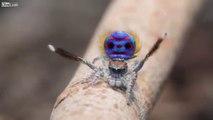 Pour tous les arachnophobes, cette petite vidéo sur la danse nuptial du male de l'araignée paon. Comme quoi la nature nous réserve bien des surprises. Elles ne sont pas toutes foncées et velues ! Il se donne du mal afin de ne pas être mangé!!! Splendide