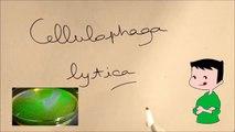 Etude de la bactérie Cellulophaga lytica