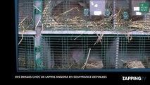 La vidéo choc de lapins angora épilés qui hurlent publiée par une association