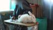 Le lapin angora, dans le viseur des associations de défense des animaux