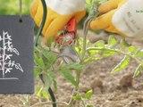 Bien cultiver la tomate - vidéo Dailymotion