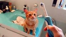 Ce chat aime se faire caresser avec une brosse à dents électrique