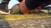 Dingue, ce canard à la patte piégée dans une moule depuis plusieurs mois