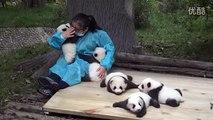 Baby pandas' looking for hugs,cute giant panda