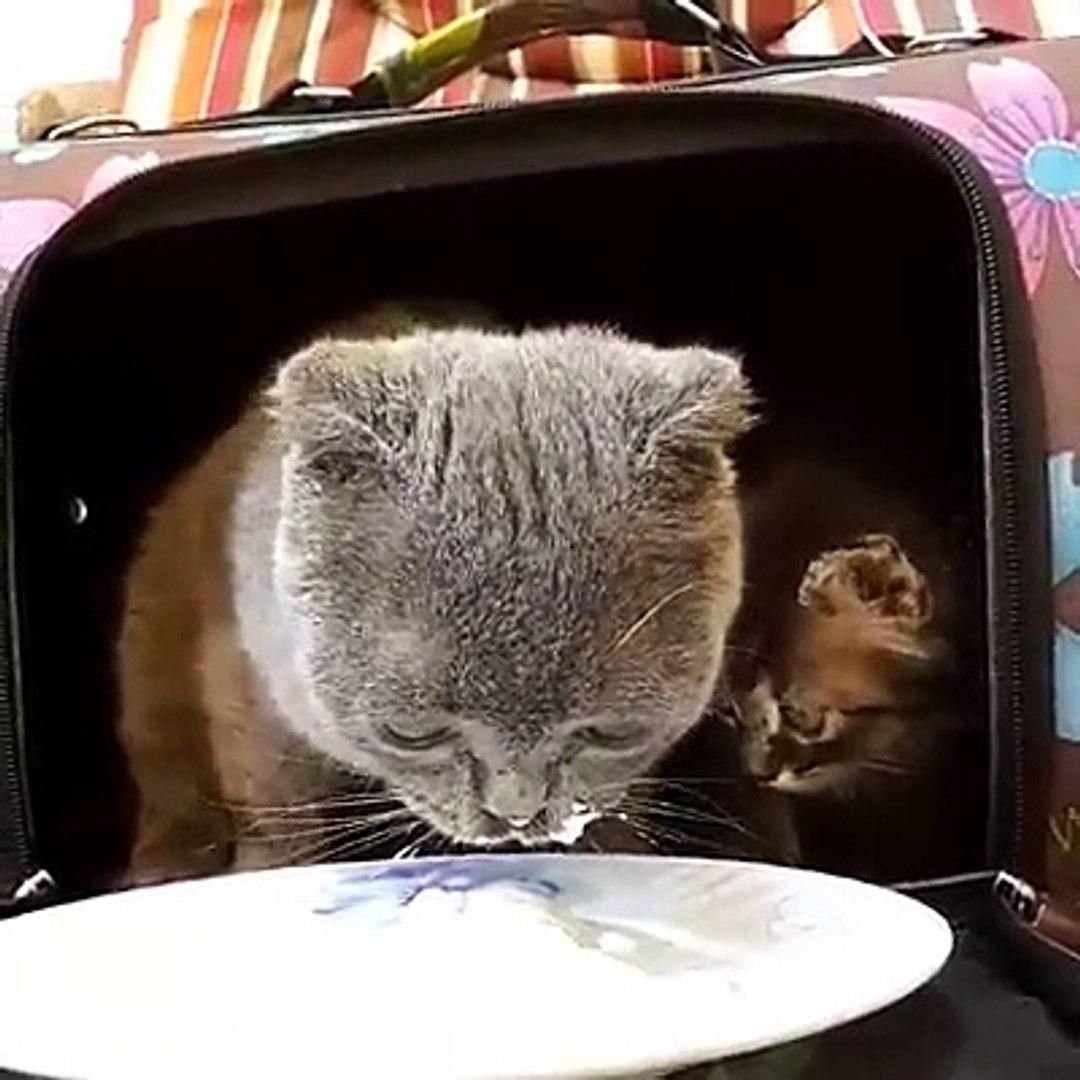 Cat eatcream cute cat videos