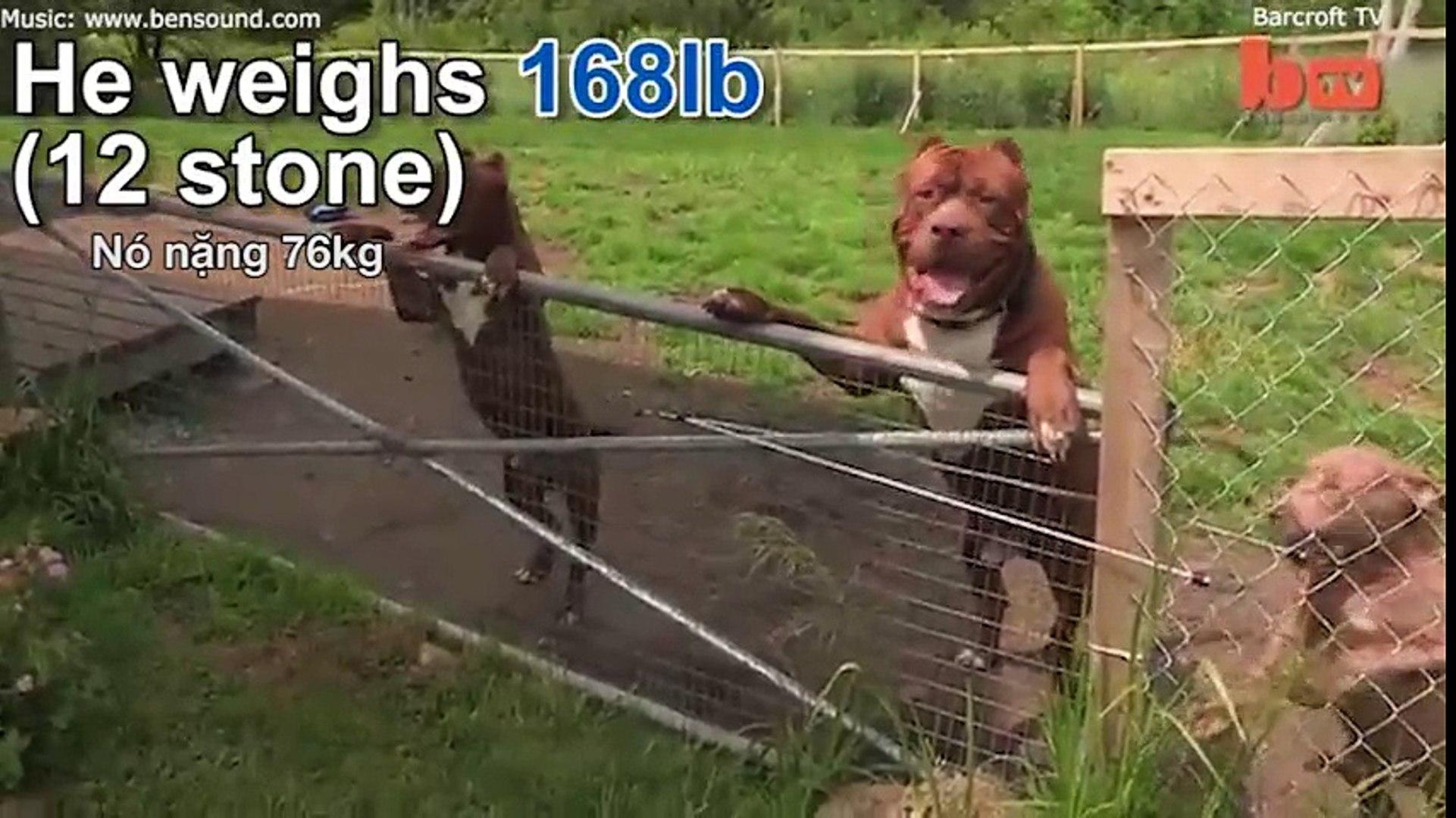 Những chú chó cao nhất thế giới
