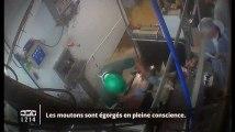 Moutons égorgés pour l'Aïd : nouvelle vidéo chocante dans un abattoir
